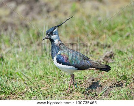 Northern lapwing (Vanellus vanellus) standing in grass in its habitat