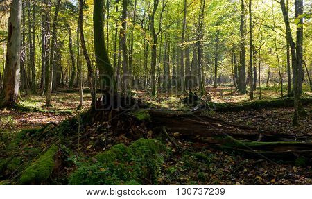 Old linden tree broken lying and sun above in autumnal ladscape od deciduous stand, Bialowieza Forest, Poland, Europe