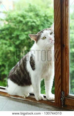 siberian tom cat sit on the balcony close up photo