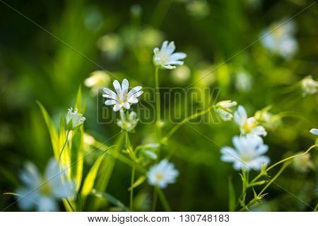 Beautiful Wild White Chickweed Flowers