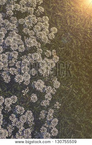 Iberis Sempervirens - White Flowers In Garden
