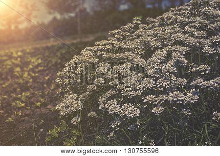 Iberis Sempervirens - White Flowers In Garden Sunset