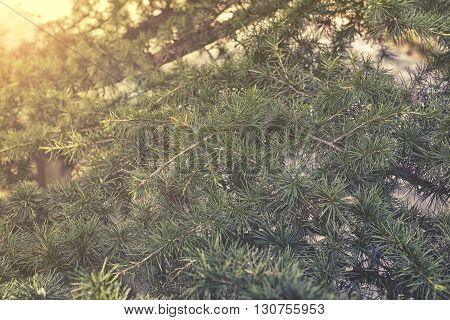 clos up on cedrus libani with sunlight