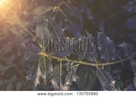 Close Up On Ilex Aquifolium Sunset Or Sunrise