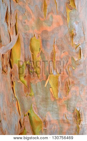 Gumtree shedding its pink and purple bark after winter revealing new yellow spring bark colour