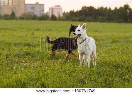 White Swiss Shepherd