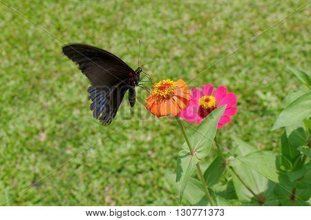the great mormon butterfly on zinnia flower