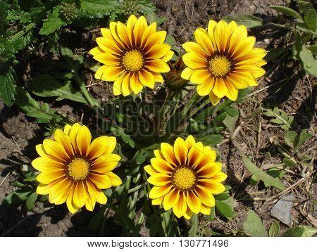 Four yellow with red stripes gazania flowers.