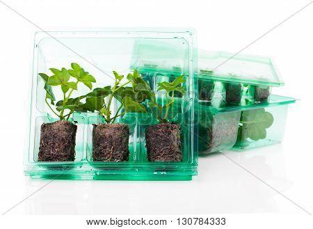 Plants seedlings for transportation in plastic box on white background