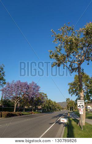 Adolfo Street with Purple Blue Jacaranda Camarillo Ventura county CA