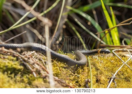 A black grass snake Natrix natrix sunbathing in the spring sun. Russia.