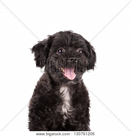 Puddle Dog Posing Isolated On White Background.
