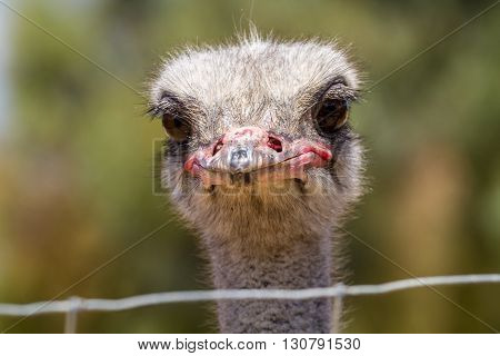 The head of an ostrich, ostrich farm in the desert, Israel. Close-up