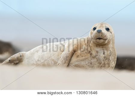 Atlantic Grey Seal (Halichoerus Grypus) on sandy beach