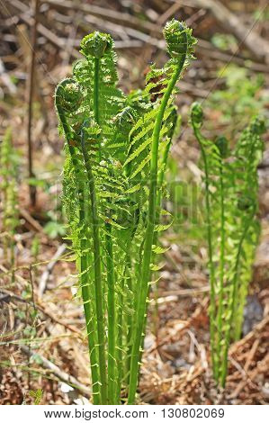 Ostrich fern or black saran (Matteuccia struthiopteris) - perennial fern species of the genus of the family Strausnik Onokleevye (Onocleaceae). Wild plants in Siberia poster