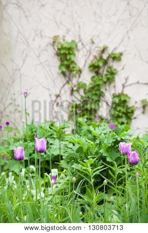 Tulips in a garden with ivy covered wall.