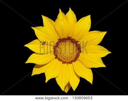 Lone yellow with orange stripes gazania flower with ant on a black background.