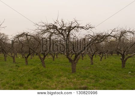 Wide shot of nacked orchard trees in early spring