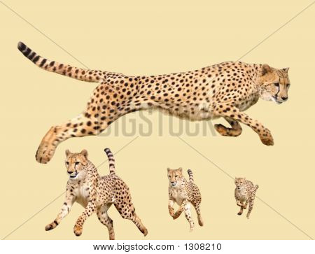 isolated cheetah running pictures for use in designs poster