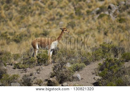 Adult vicuna (Vicugna vicugna) in Lauca National Park on the Altiplano of north east Chile.