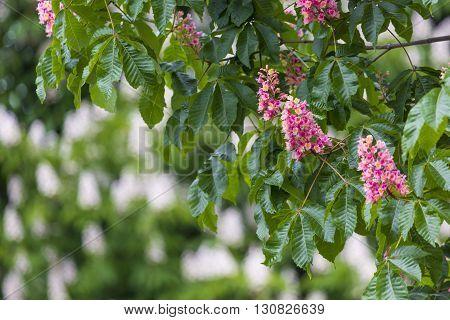 Chesnut Flowers On The Tree