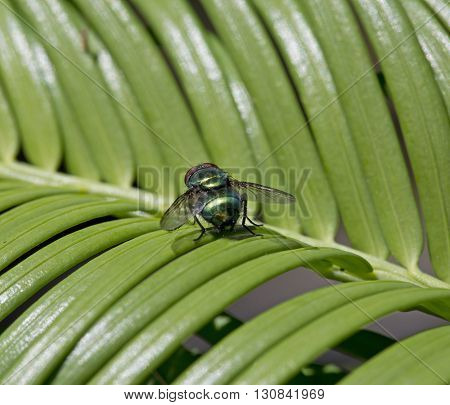 The common green bottle fly Lucilia sericata on Taxus baccata leaves
