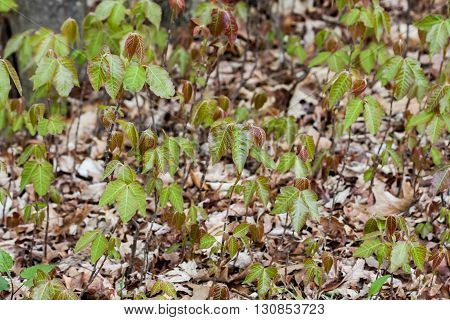 Emerging young poison ivy plants in the spring.