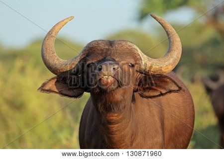 Portrait of an African or Cape buffalo (Syncerus caffer), Mokala National park, South Africa