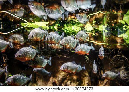 Piranha (Colossoma macropomum) in an aquarium on a green background