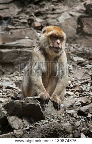 Barbary macaque (Macaca sylvanus), also known as the maggot. Wildlife animal.