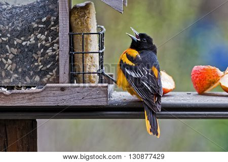 A male Baltimore Oriole at a feeder stocked with seeds suet and apples.