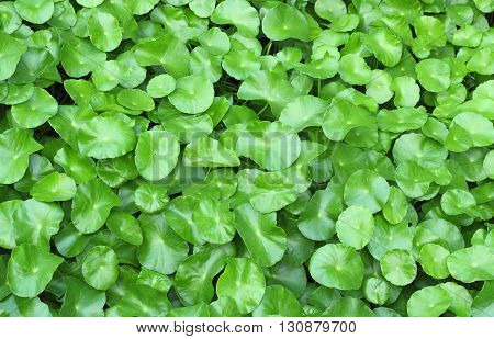 Water Pennywort