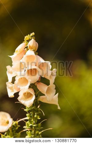 Tall purple, pink, peach and white foxglove flower, Digitalis purpurea, blooms in a botanical garden in spring.