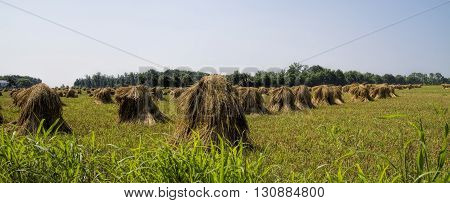 Fields of freshly hand-cut wheat stacks on a Amish farm