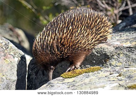 Australian Echidna searching for ants between sandstone rocks