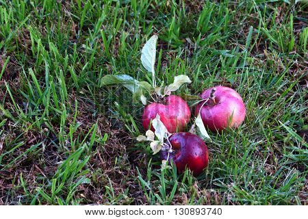 the beautiful ripe apple and green grass