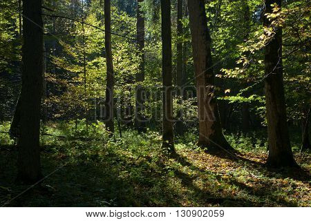 Shady deciduous stand of Bialowieza Forest in summertime morning, Bialowieza Forest, Poland, Europe