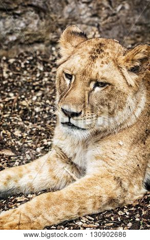 Portrait of a Barbary lion - Panthera leo leo. Animal portrait. Lioness closeup. Atlas lion. Beauty in nature. Critically endangered species. poster