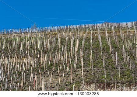 Vineyards on the Moselle against a blue sky.