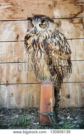 Eurasian eagle owl - Bubo bubo - bird scene. Beauty in nature. Big eyes. Bred in captivity. Night owl.