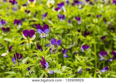 Viola Tricolor (johnny Jump Up).