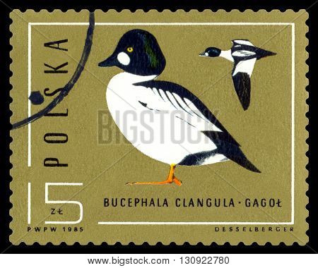 STAVROPOL RUSSIA - APRIL 30 2016: A Stamp sheet printed in Poland shows birds Bucephala Clangula Ducks circa 1985