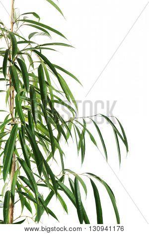 Dracaena lush leaves poster