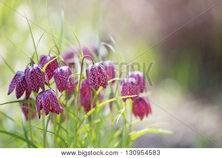 Early spring flower background (Fritillaria meleagris) in the garden.