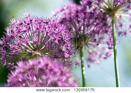 Allium (Allium Giganteum) in full flower growing in the garden