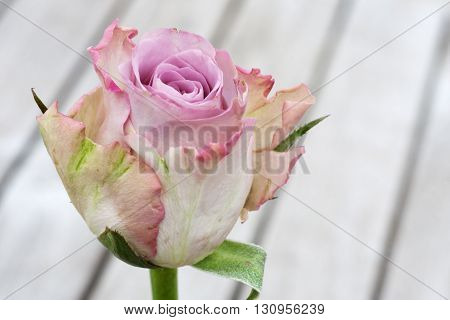 Pastel rose on a wooden table on a terrace