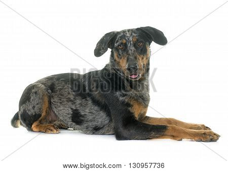 female harlequin beauceron in front of white background