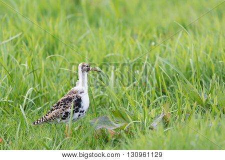 Ruff bird walking in grass