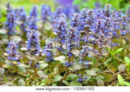 Blooming Blue Bugleweeds - Ajuga In The Summer Meadow