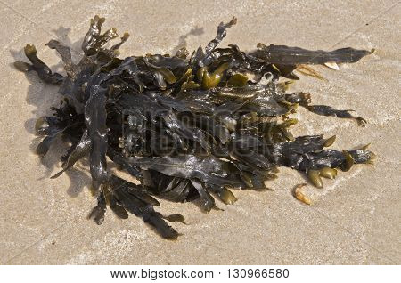 Seeweed which has washed up on shore after a storm in the Delaware Seashore State Park